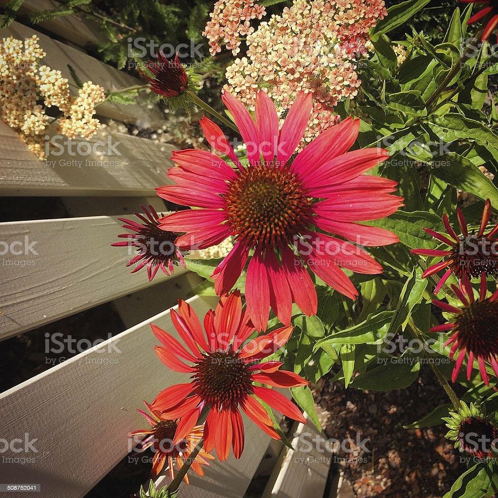 Echinacea Detail stock photo