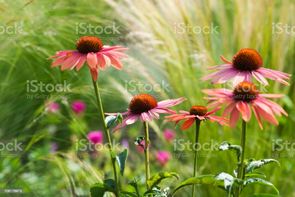 Echinacea family with grasses royalty-free stock photo