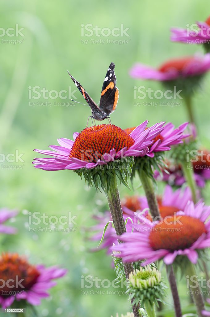 Echinacea flower and Red admiral butterfly - II royalty-free stock photo