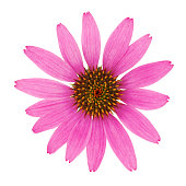 Echinacea Flower (with path)