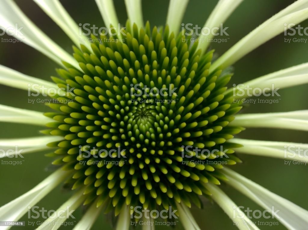 Echinacea flower with white petals and a green center royalty-free stock photo