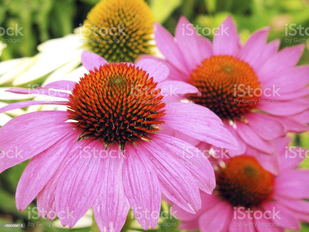 echinacea flowers royalty-free stock photo