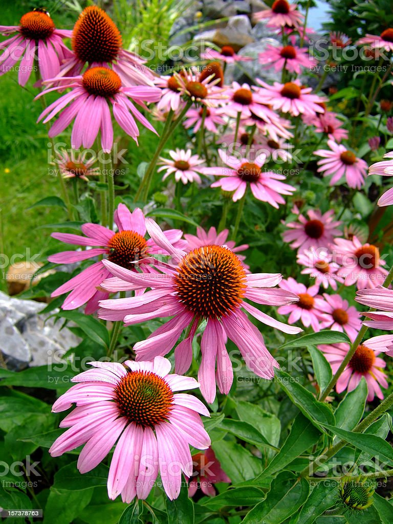 echinacea garden royalty-free stock photo
