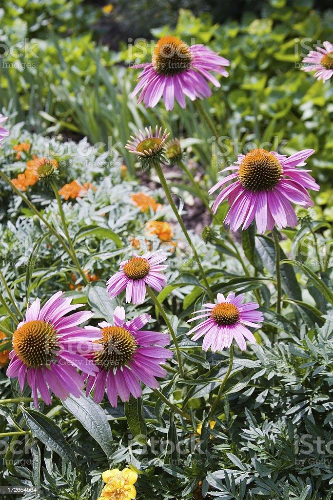Echinacea Garden stock photo