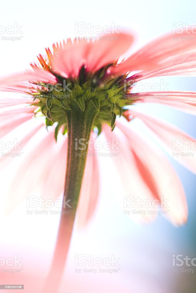 Echinacea high-key abstract - I royalty-free stock photo