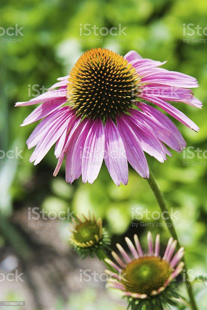 Echinacea in the Sun stock photo
