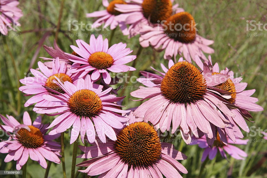 echinacea royalty-free stock photo