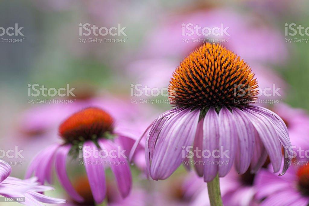 Echinacea royalty-free stock photo