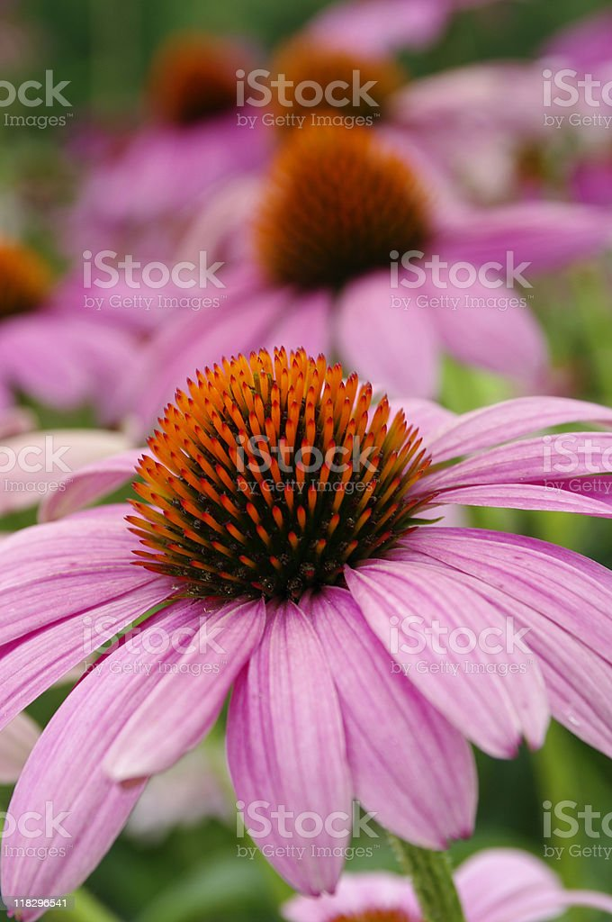 Echinacea plant in the foreground stock photo