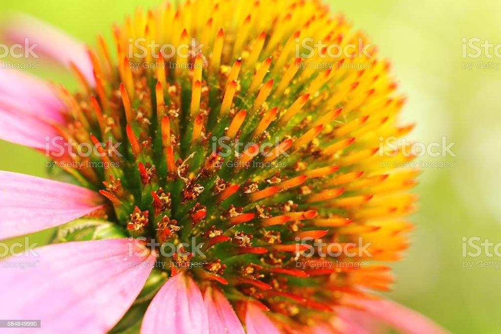 Echinacea purple. Single flower, macro stock photo
