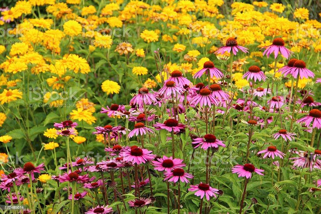 Echinacea purpurea flowers royalty-free stock photo