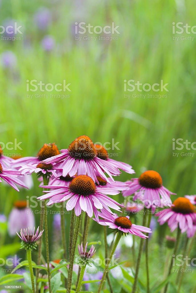 Echinacea purpurea - III royalty-free stock photo