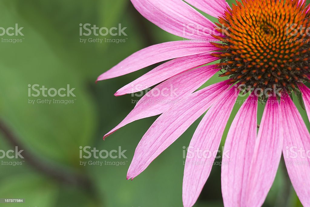 Echinacea purpurea 'Merlot' - V royalty-free stock photo