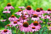 Echinacea purpurea 'Merlot' - X
