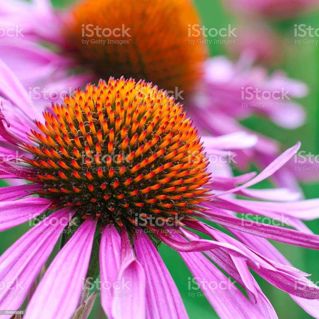 Echinacea purpurea 'Merlot' - XI royalty-free stock photo
