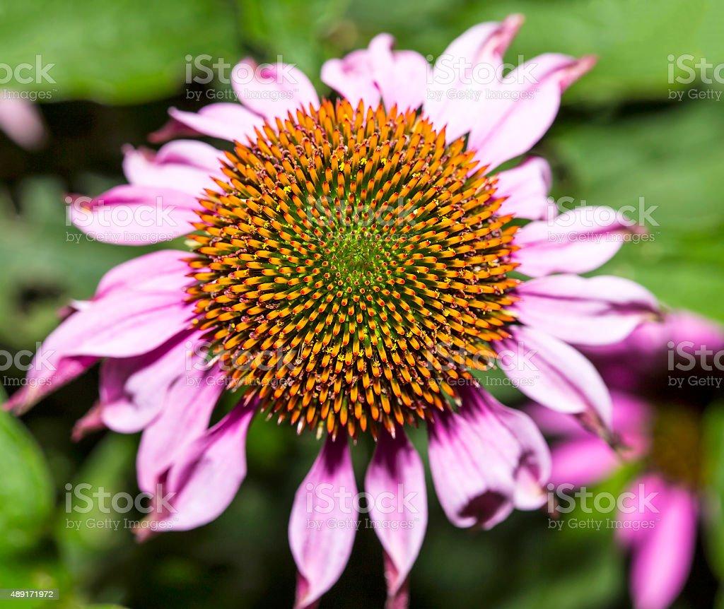 Echinacea purpurea stock photo