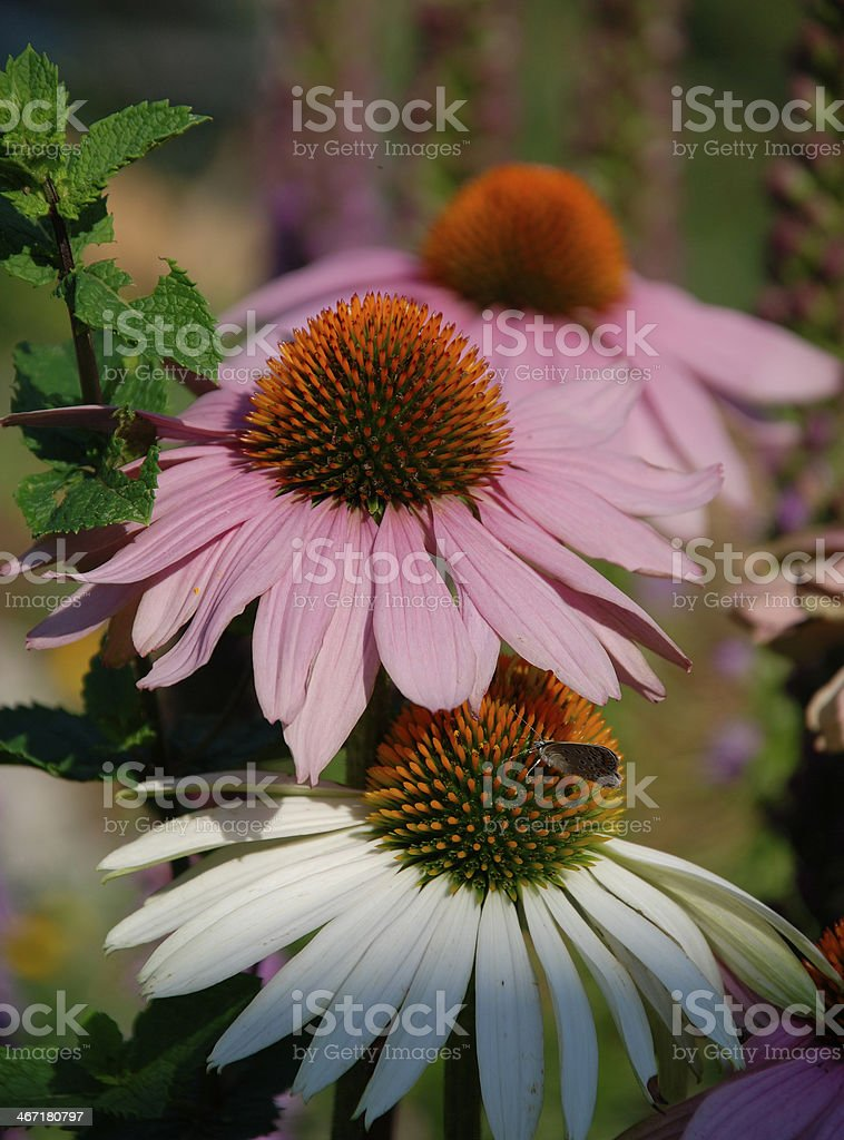 Echinacea Purpurea with Small Butterfly stock photo