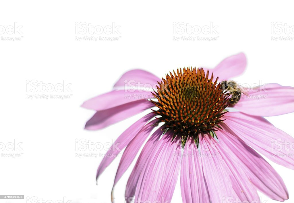 Echinacea with Bee royalty-free stock photo
