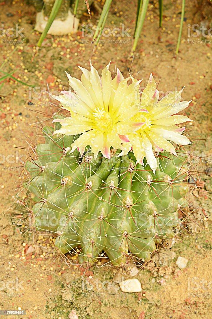 Echinocactus grusoni stock photo