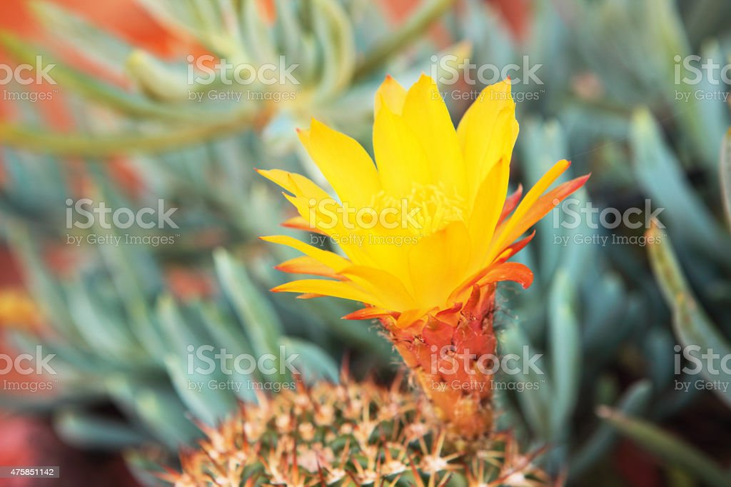 Echinocactus grusonii Barrel Cactus Flower stock photo