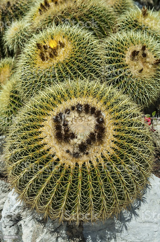 Echinocactus grusonii stock photo