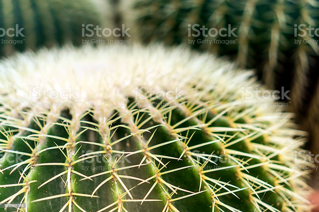Echinocactus grusonii stock photo