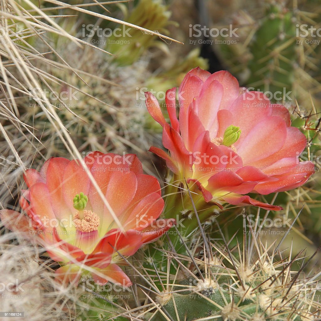 Echinocereus coccineus royalty-free stock photo
