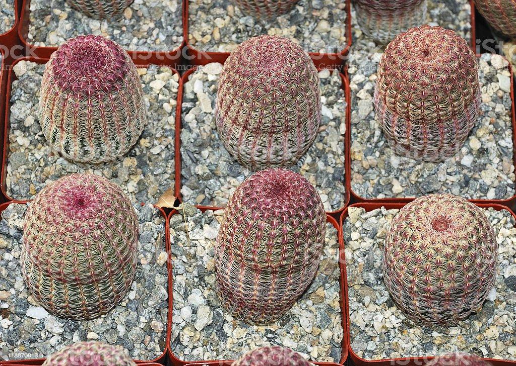 Echinocereus rigidissimus royalty-free stock photo
