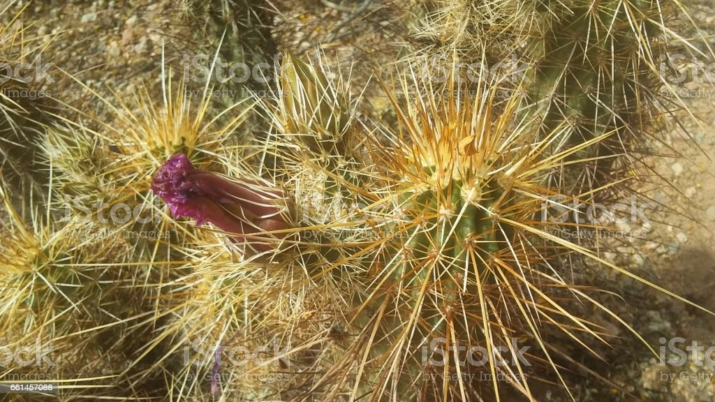 Echinocereus Triglochidiatus Cactus (Hedgehog Cactus) Blossoming with Pink Flowers in Desert in Phoenix, Arizona. stock photo