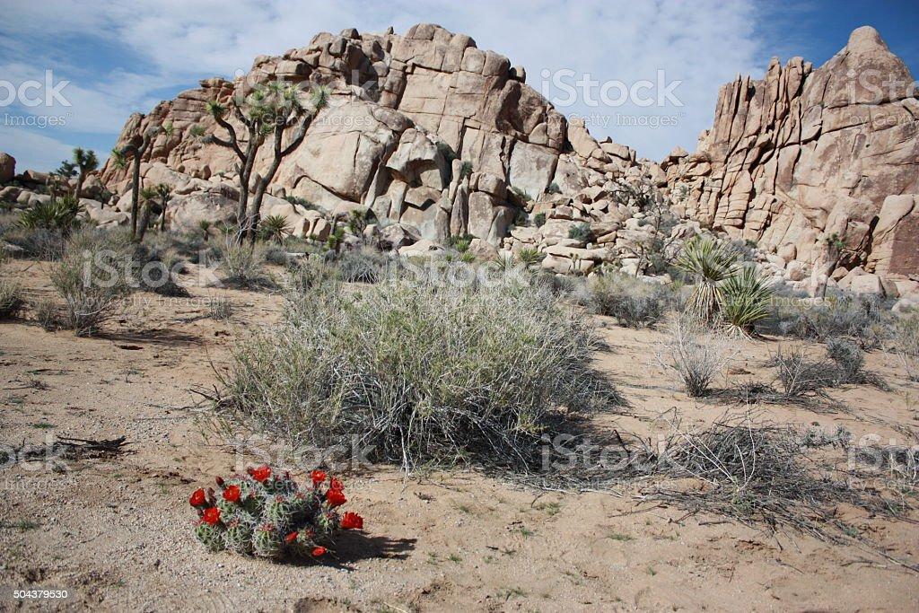 Echinocereus triglochidiatus red blooming in Joshua Tree National Park, USA stock photo
