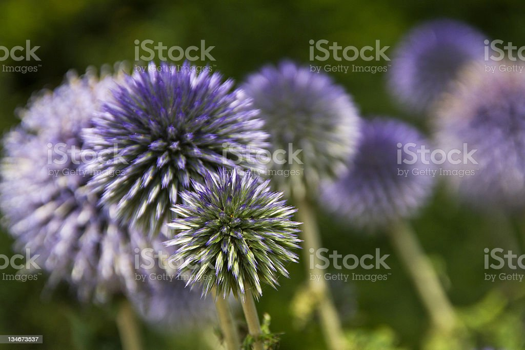 Echinops - Globe Thistle stock photo