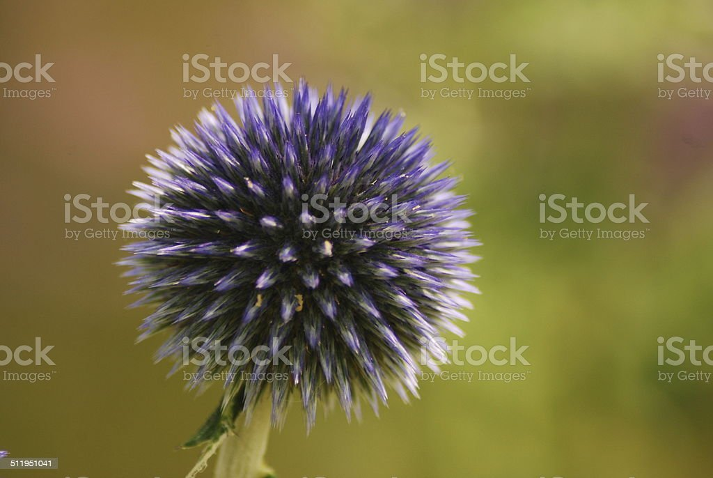 Echinops globe thistle stock photo