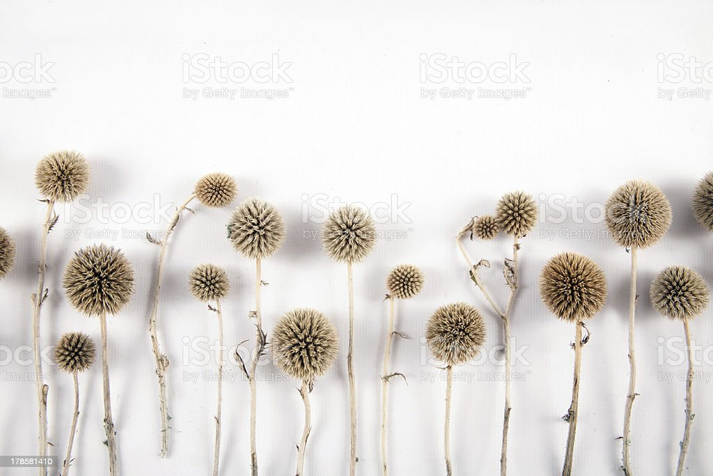 Echinops grijisii Hance royalty-free stock photo