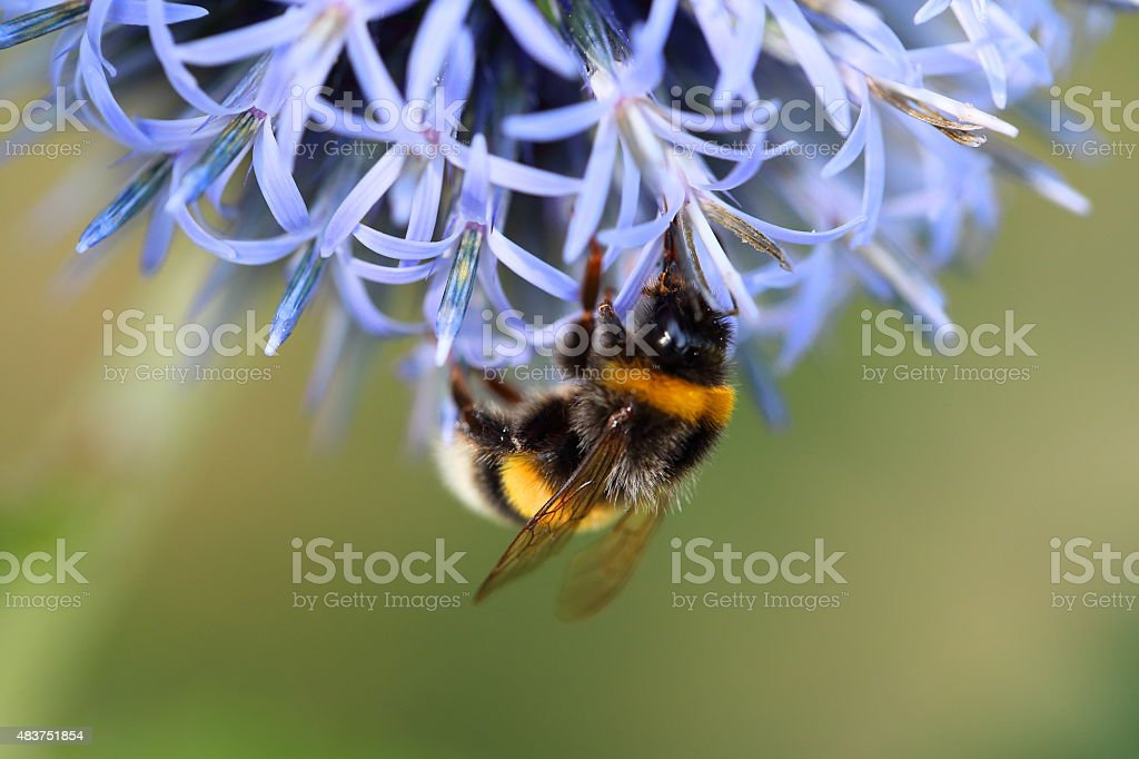 Echinops ritro - southern globethistle and bee stock photo