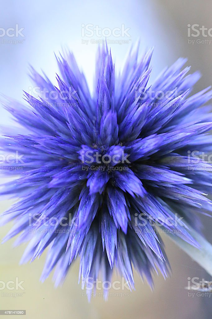 Echinops ritro - Veitch's Blue - Globe Thistle stock photo