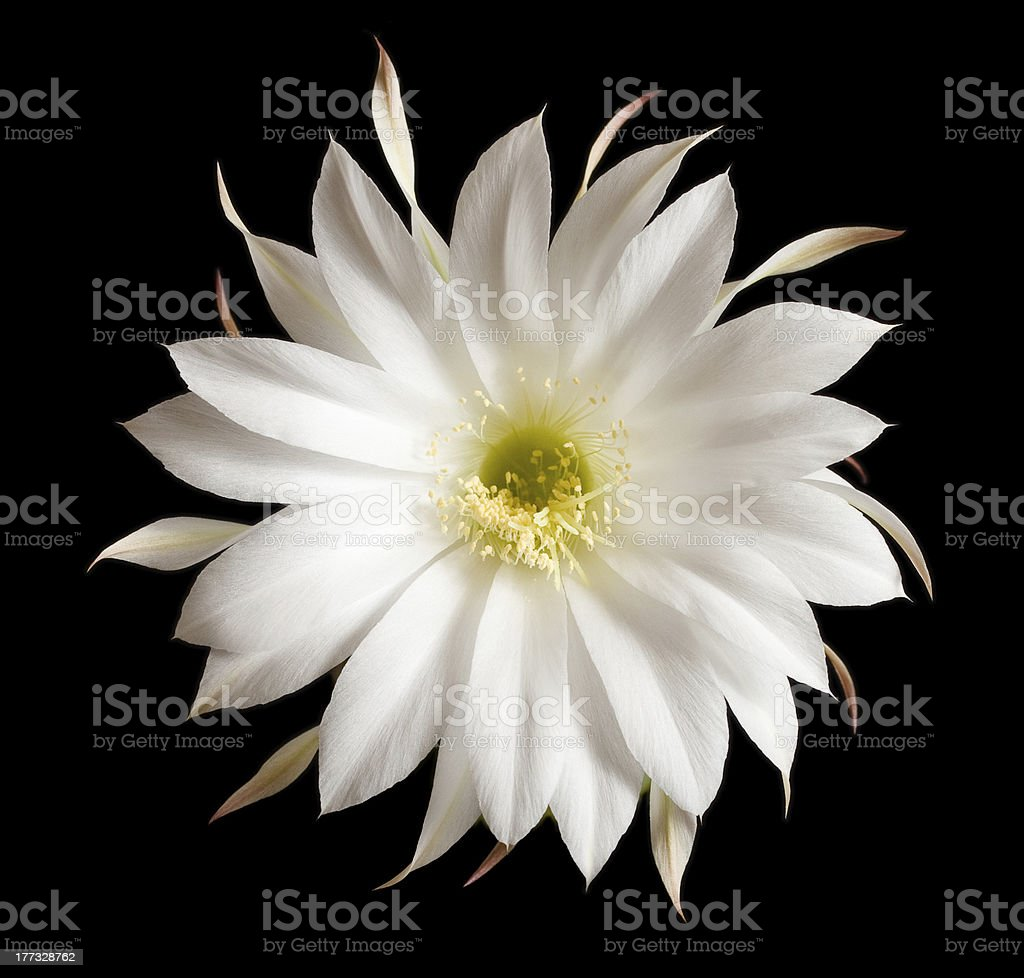 Echinopsis cactus  flower close-up royalty-free stock photo