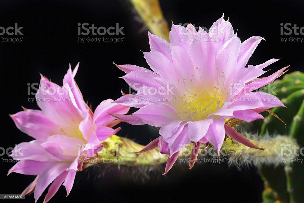 Echinopsis Lizenzfreies stock-foto