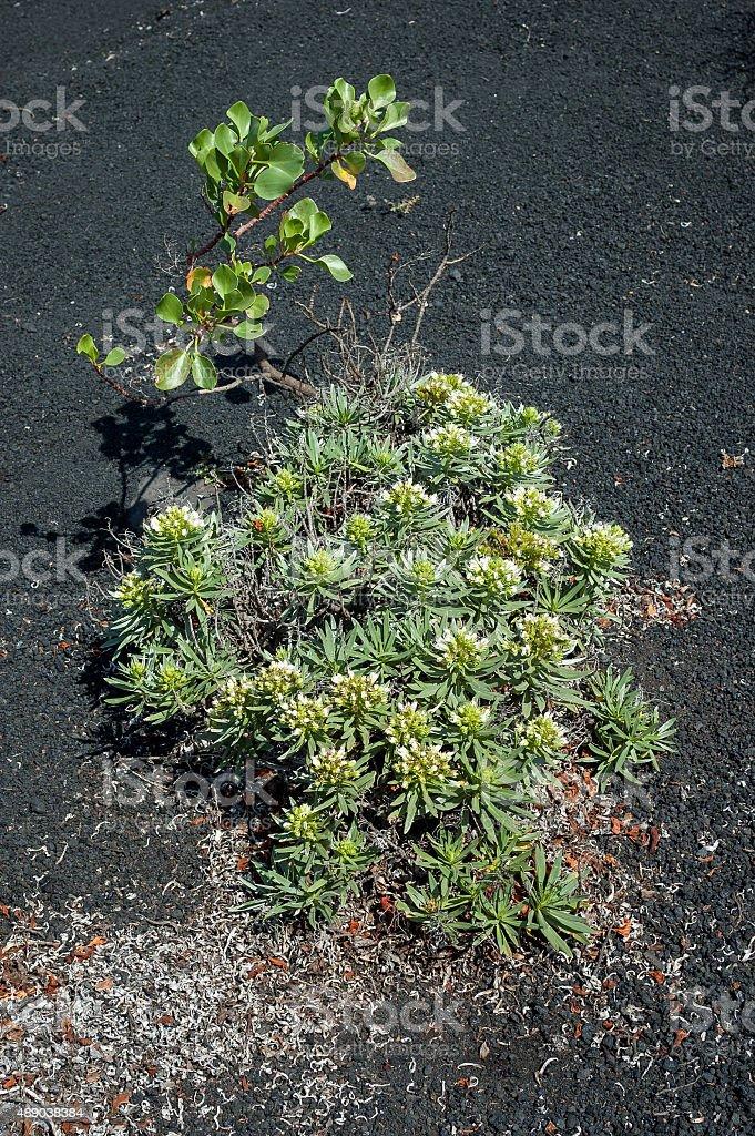 Echium aculeatum plant stock photo