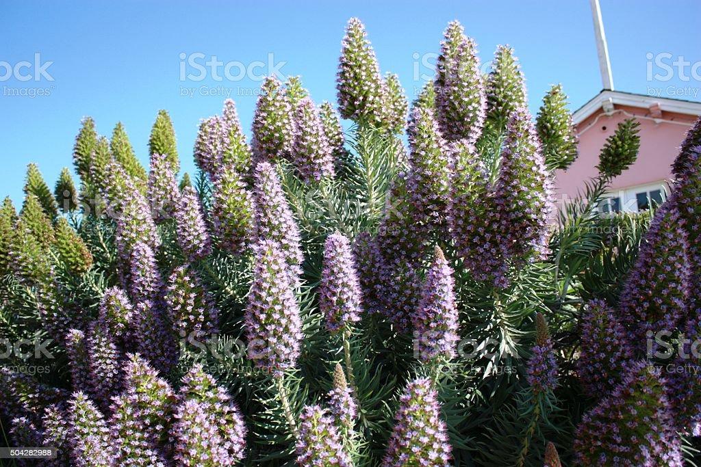 Echium fastuosum blue Pride of Madeira in Monterey, USA stock photo