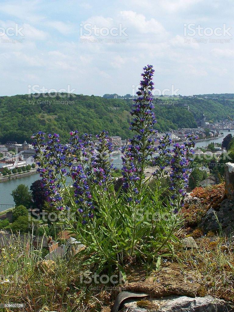Echium vulgare (Vipérine commune) stock photo