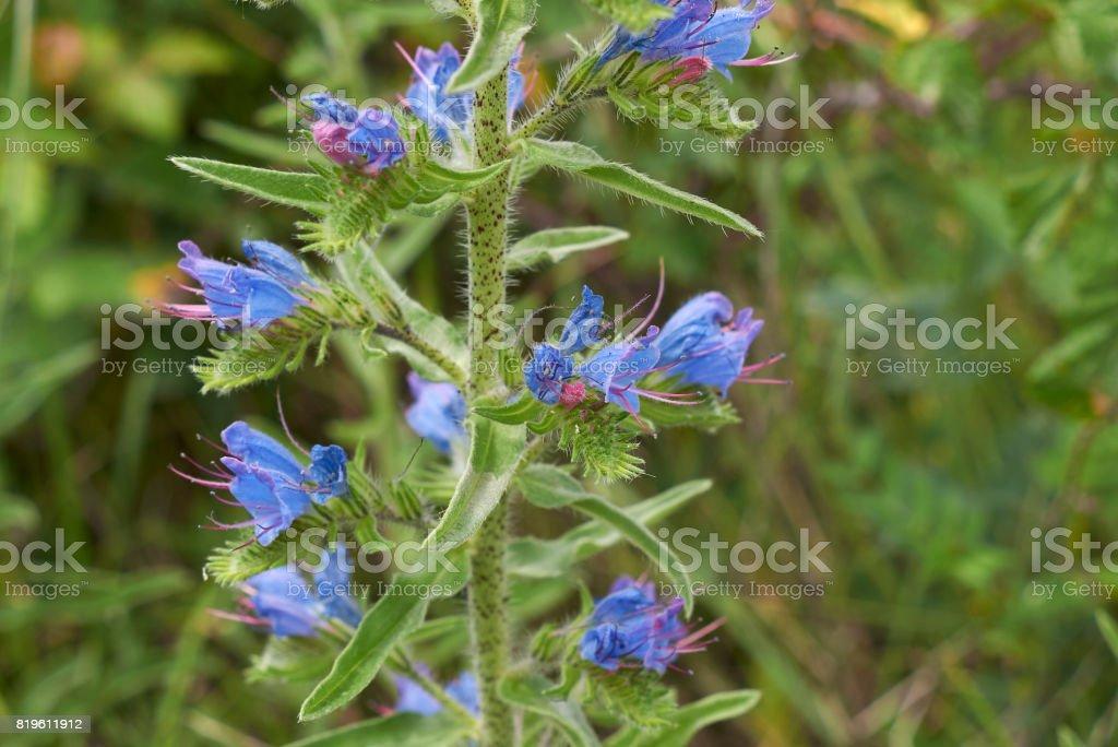 Echium vulgare stock photo