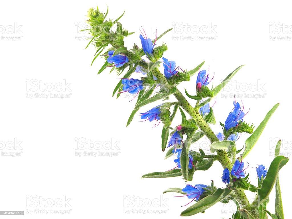 Echium vulgare plant stock photo