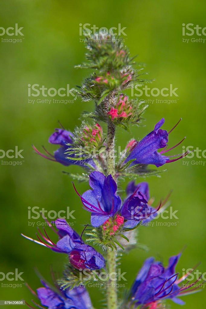 echtum vulgare in summer stock photo