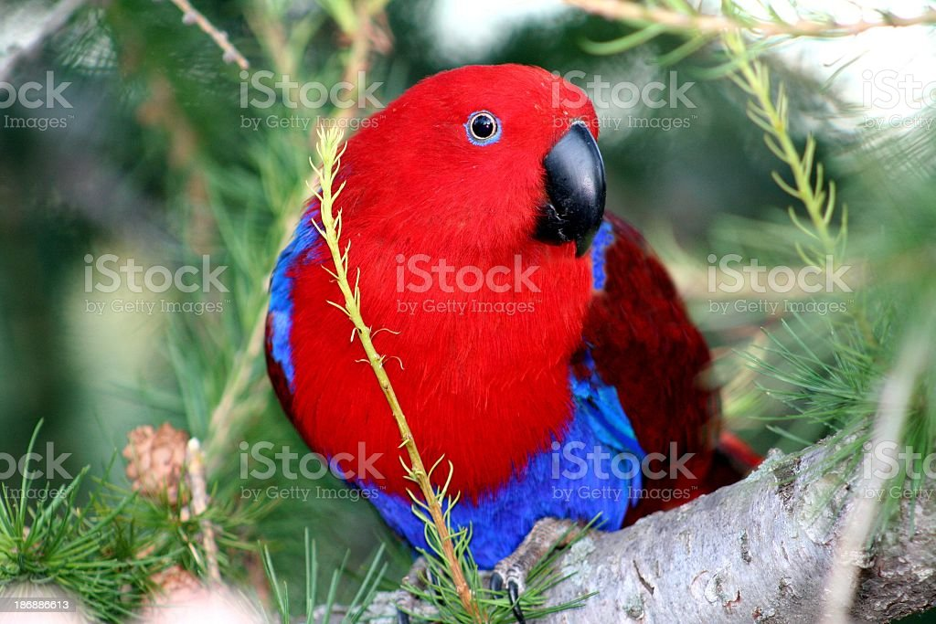 Eclectus Parrot in a tree stock photo