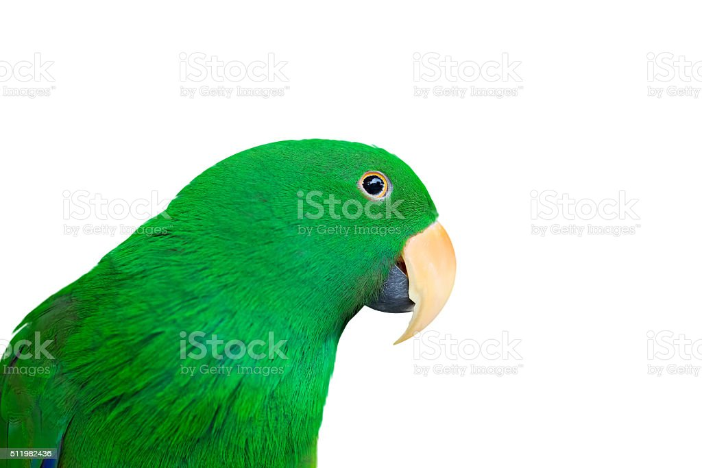 Eclectus Parrot isolate on white with space for text stock photo