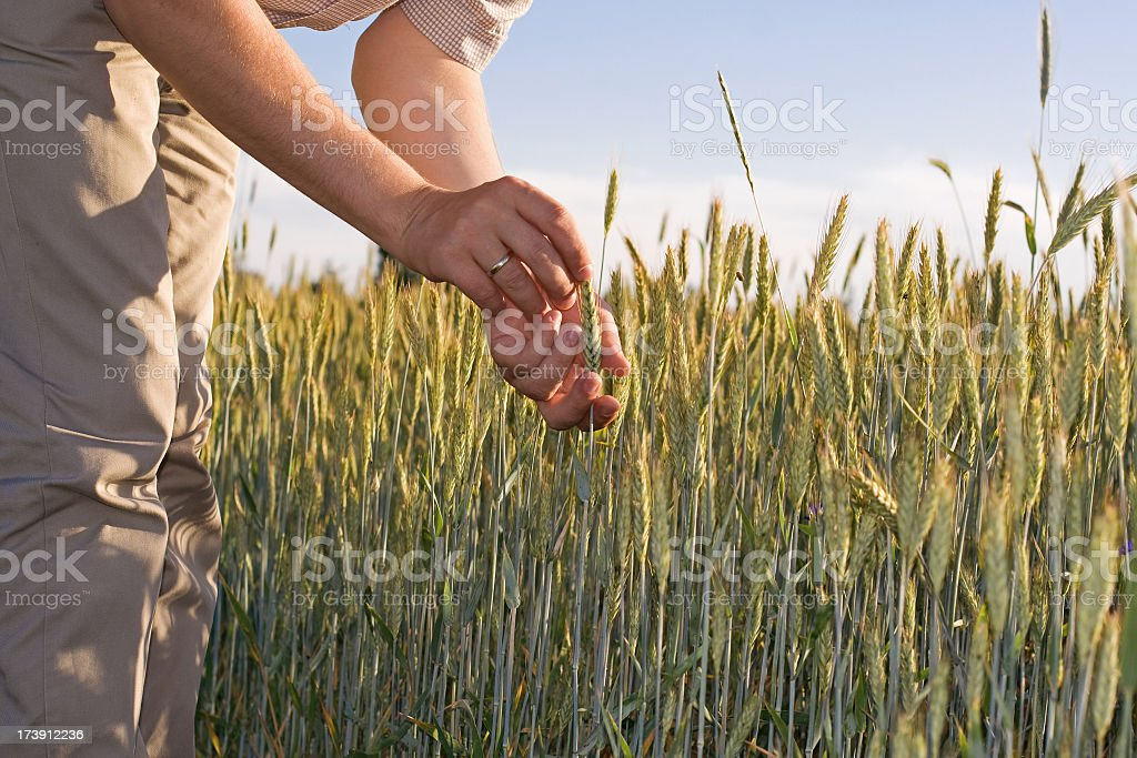 ecological cereal royalty-free stock photo