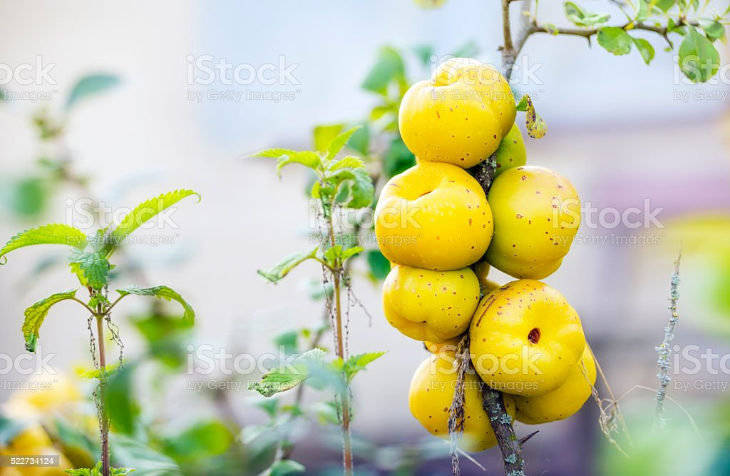 Ecological chaenomeles speciosa (Rosaceae) fruits stock photo