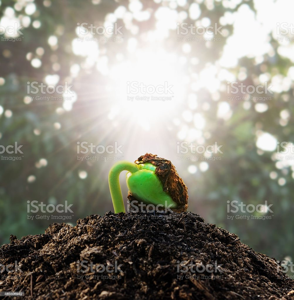 Ecology concept. Rising sprout tamarind on soil stack stock photo