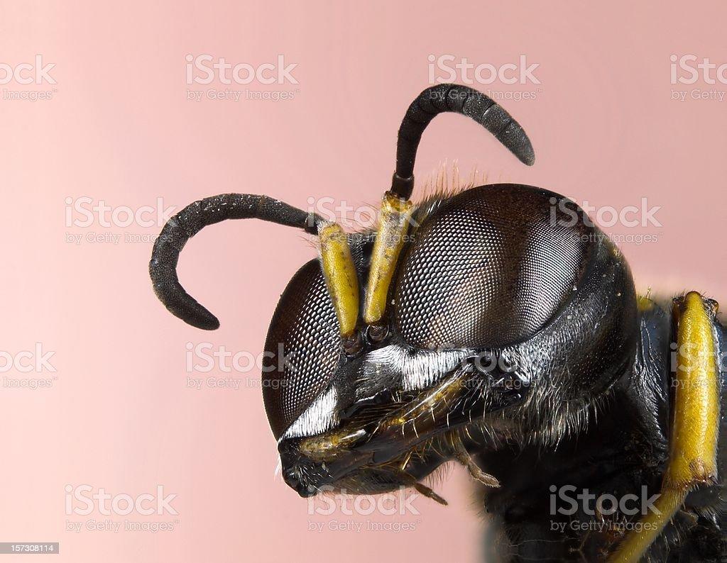 Ectemnius solitary wasp stock photo