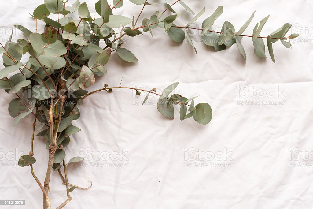 Ecualyptyus leaves from above stock photo